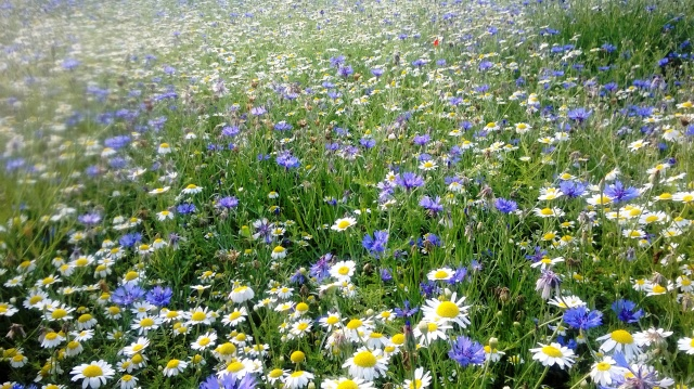 Ox Eye Daisies and Cornflowers make a wonderful display at Myddelton House