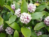 Daphne odora- wonderful flowers and fragrance from mid winter to spring