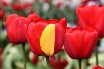 Tulip Darwin hybrid- with mutation!
