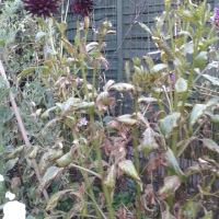 GQT: Dying Dahlias