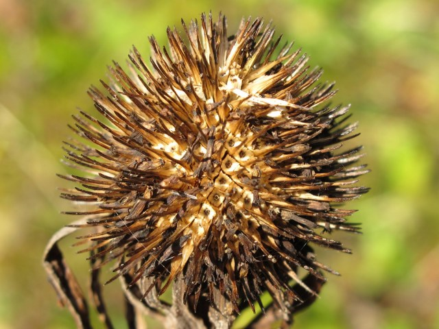Save seed from plants like Echinops