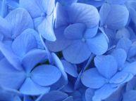 H. macrophylla Nikko_Petals_blueing of petals by aluminium sulphate via Shmoopy