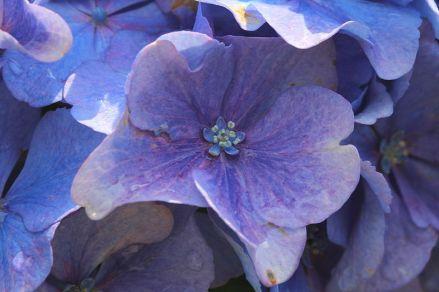 Hydrangea_macrophylla via Holger Casselmann