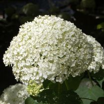 Hydrangea macrophylla 'Mariesii'