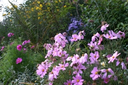 Cosmos, Asters, Achillea, Helianthemum