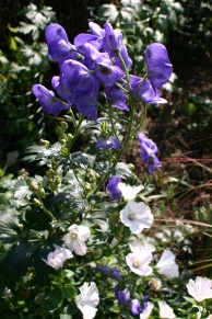 Aconitum and Lavatera