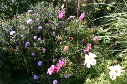 Cosmos and Asters