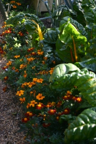 Marigolds and Chard