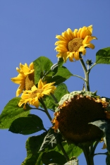 Sunflowers- this monster grew to about 15 feet (5 metres) tall!
