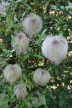 Seed heads of Clematis tangutica