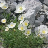 A-Z of Perennials: P is for Papaver