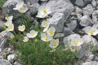 P. alpinum subspecies alpinum via Hermann Schachner