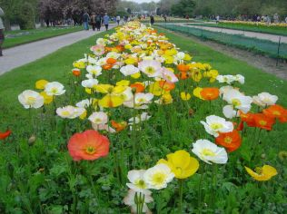 P. nudicaule ('Iceland Poppy') via David monniaux