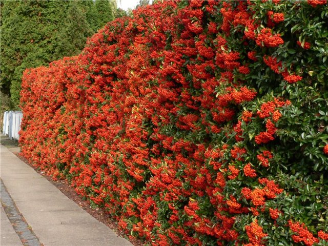 A Pyracantha hedge