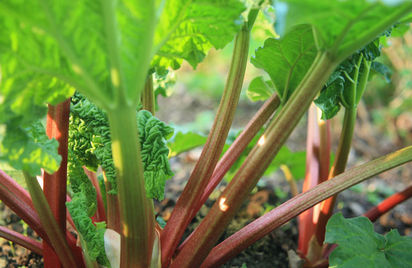 Dividing rhubarb crowns as well as herbaceous perennials can be done safely now