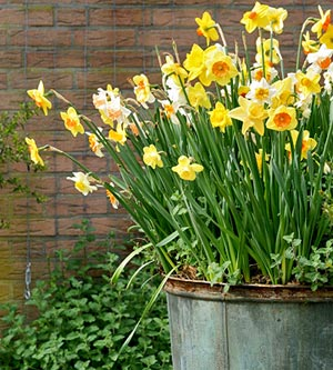 tin pot of daffodils
