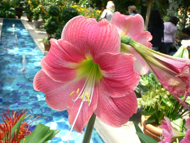 Amaryllis (Hippeastrum) 'Candy Floss'