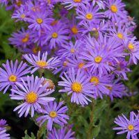 Plantax 17: Autumn Star- Aster