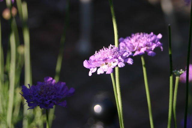 Scabious still looking good in the courtyard garden