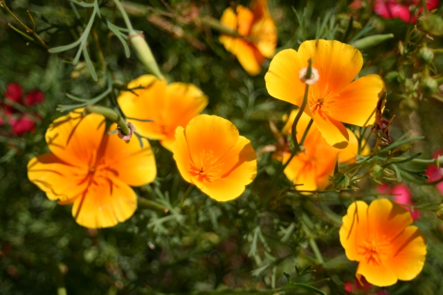 Califorinian Poppies- a possible addition to the new front border