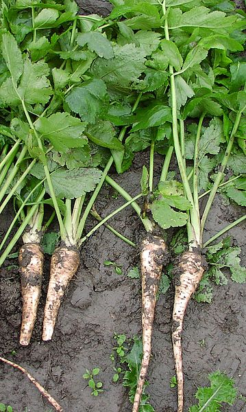 Leave Parsnips in the ground until they've had a good frosting- it improves the flavour