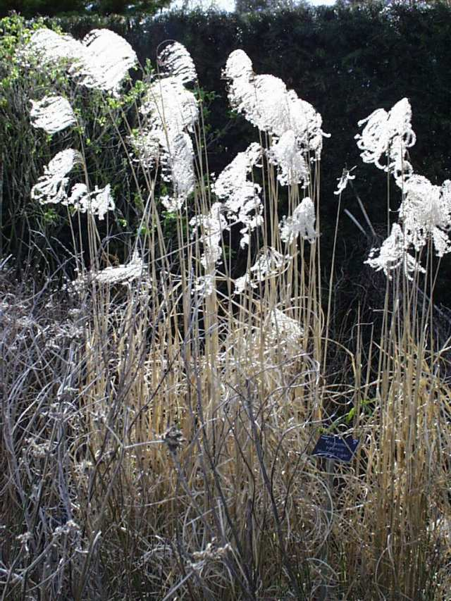Dried flowers and stems of Miscanthus sinensis 'Morning Light' providing interest at RHS Garden Hyde Hall in March