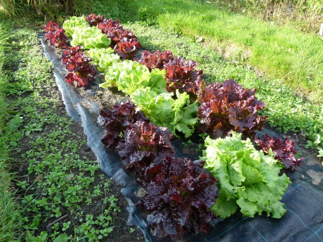Weed - proof membranes can be an effective way of controlling weeds around vegetable crops