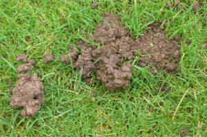 worm casts on lawn