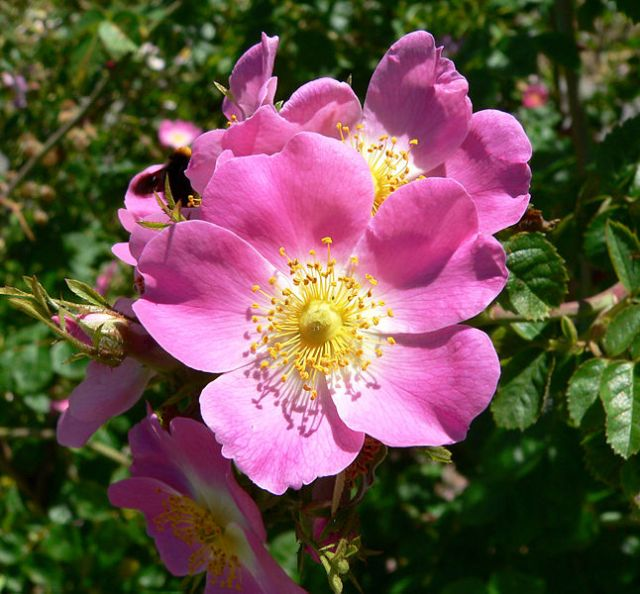 Rosa rubiginosa- a wild or species rose that needs minimal pruning