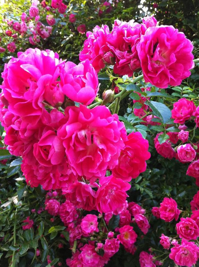 Rambling roses need a framework of stems establishing with selctive removal of the oldest to encourage new growth form the base and flowering shoots pruned after flowering