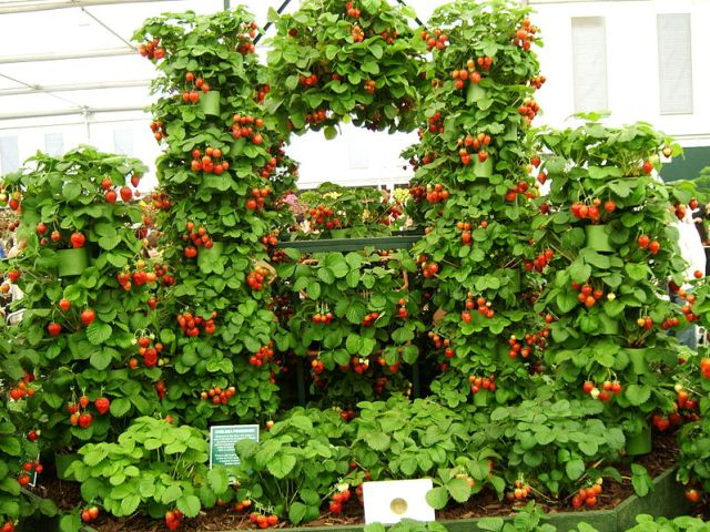 Strawberry display at Chelsea Flower Show 2009