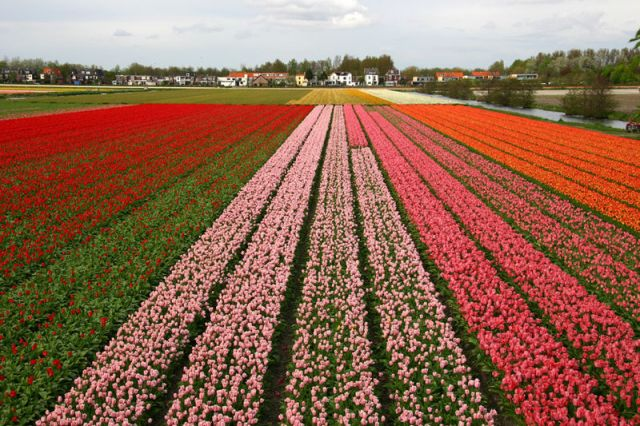 Bulbs fields in Holland