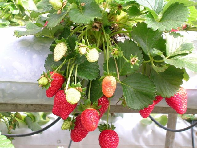 Strawberries being grown hydroponically