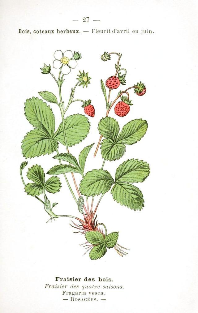 Botanical-Fruit-Strawberry-2