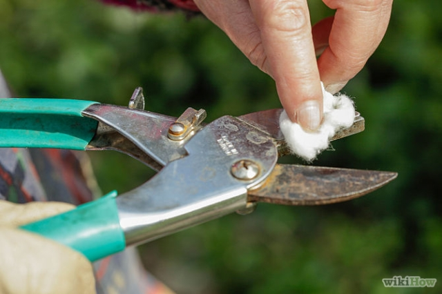 Clean secateurs with surgical spirit or alcohol before pruning each rose plant