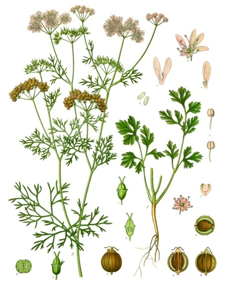 Coriandrum sativum from the Medizinal Pflanzen