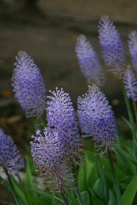 Scilla maderensis