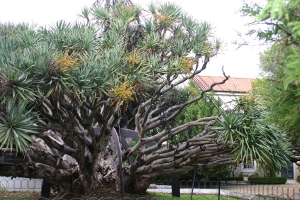 The Dragon Tree...