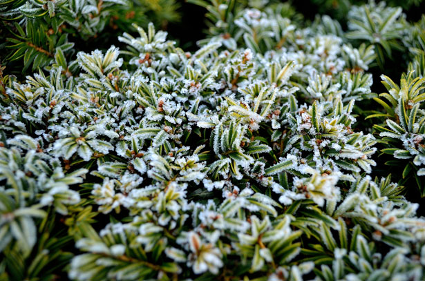winter-frost-on-plants-132662203503t
