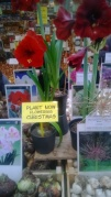 Beatuful Amaryllis- I was warned off due to luggage restrictions!