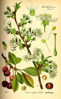 Botanical illustrations of the Morello cherry