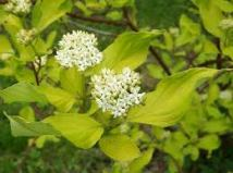 Cornus alba- flowers