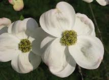 Cornus florida- flower detail