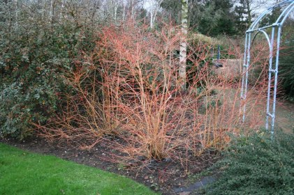 Cornus sanguinea 'Winter Beauty' -stems