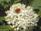 Cornus snaguineus- flower