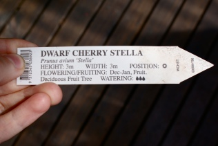 Cherries can be grown as different sized trees, dependign on the root stock you choose. Here's a dwarf Stell