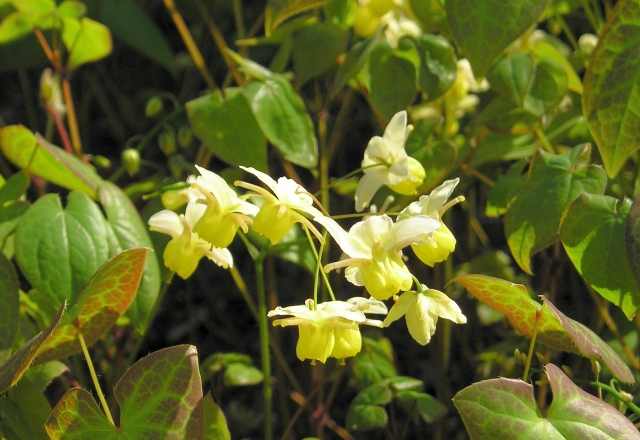 Epimedium- a good choice for dry shade