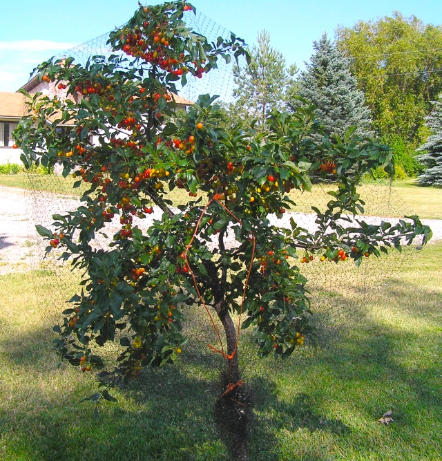 The Evans Cherry variety showing ripening fruit