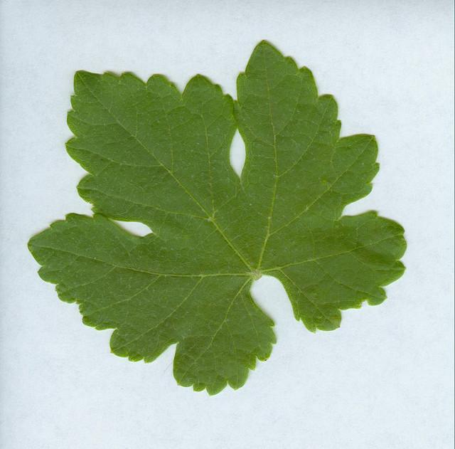 Grapevine_leaf_-_Syrah