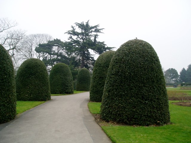 Formally clipped Hollies at Kew Gardens